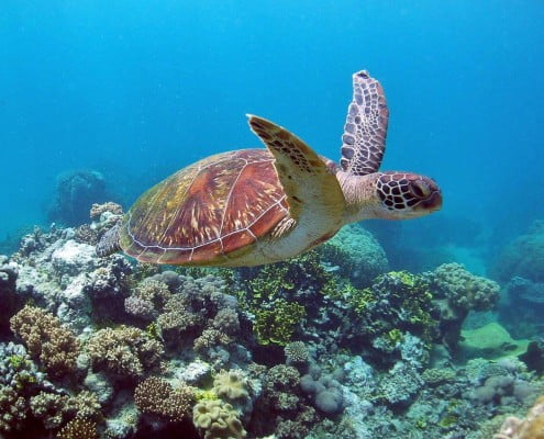 Green turtle - photo courtesy of Great Barrier Reef Marine Park Authority