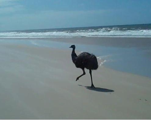 Emu on Bribie island