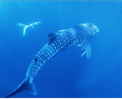 Whale Shark Ningaloo - australiancoralcoast